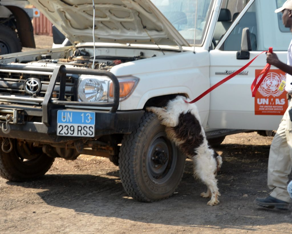 Explosive detection dogs during training
