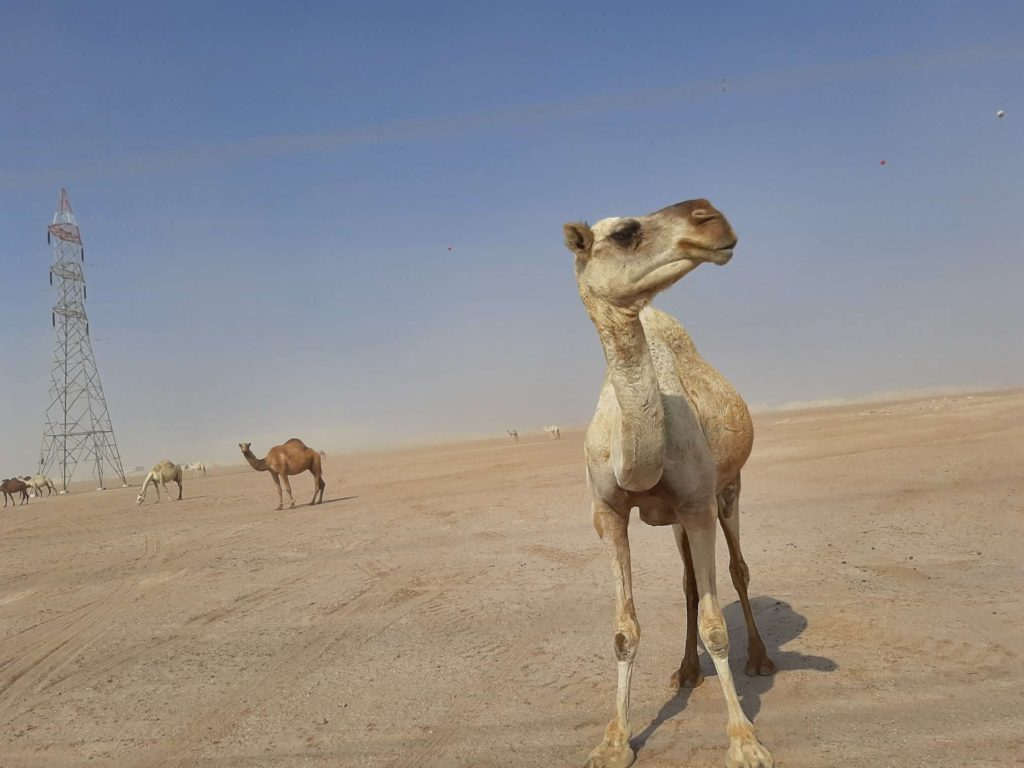 Camels in the desert of Kuwait