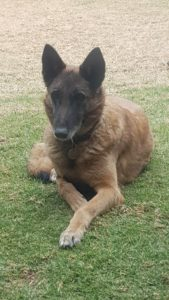 Rehoming a working dog like Bree